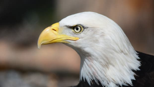 The Founding Fathers made an appropriate choice when they selected the bald eagle as the emblem of the nation. The fierce beauty and proud independence of this great bird aptly symbolizes the strength and freedom of America.