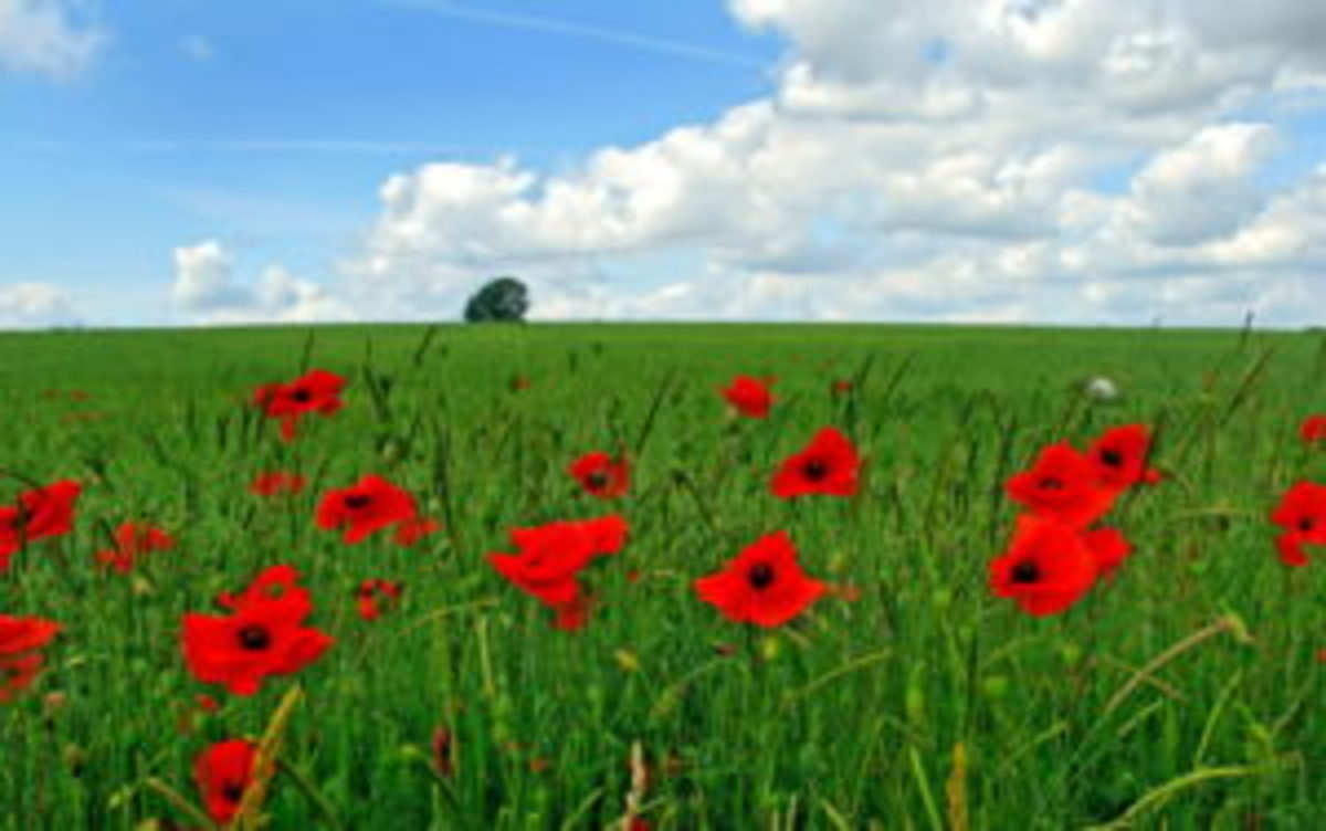 "During WWI, the image of the poppies standing in a Belgian field was a fitting metaphor for the flower of youth who stood shoulder to shoulder against German invaders. A poem entitled ""In Flanders Fields"" struck a chord in the collective souls of nations."
