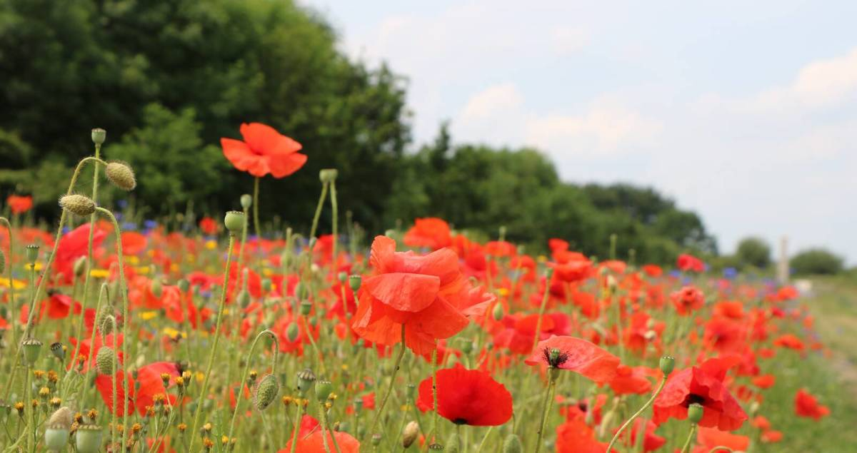 The poppy is a symbol of Remembrance and hope, including hope for a positive future and peaceful world.